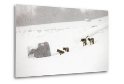 A Pack of Coyotes, Canis Latrans, in a Snowy Landscape