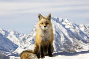 A Red Fox, Vulpes Vulpes, Basks in Winter Sun by Robbie George