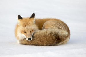 A Red Fox, Vulpes Vulpes, Curled Up on the Snow by Robbie George