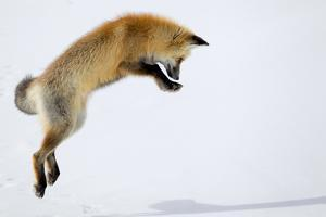 A Red Fox, Vulpes Vulpes, Pouncing for Prey Burrowed Under the Snow by Robbie George