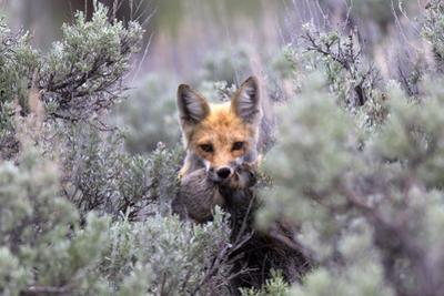 A Red Fox, Vulpes Vulpes, Stands Amidst Shrubs after Catching a Rodent