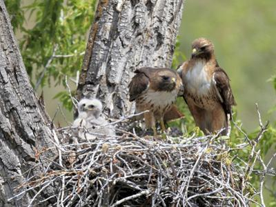 A Red-Tailed Hawk Family, Buteo Jamaicensis, Together in their Nest by Robbie George