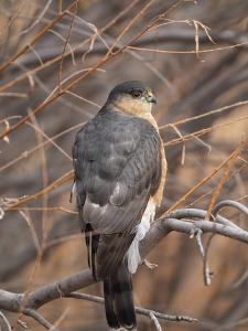 A Sharp Shinned Hawk, Accipiter Striatus, Perched in a Tree by Robbie George