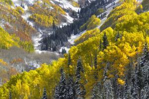 A Snow-blanketed Valley with Golden Aspen Trees and Evergreens by Robbie George