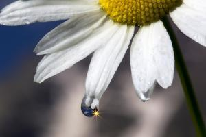 A Sparkle in a Drop of Water on a Daisy Petal by Robbie George