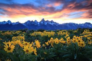 Alpine Sunflowers Illuminated by a Glowing Sunset over Snow-Capped Mountains by Robbie George