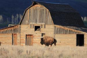 An American Bison, Bison Bison, Grazes in Front of a Historic Barn by Robbie George