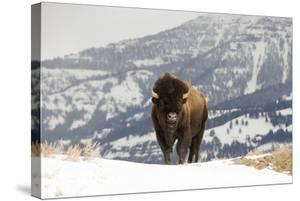 An American Bison Stands on Snowy Ground with Mountain Forests in the Background by Robbie George