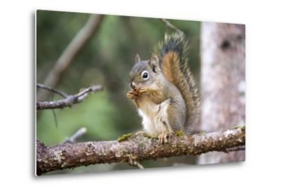 An American Red Squirrel, Tamiasciurus Hudsonicus, Nibbles on a Nut