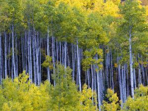 Aspen Trees in Autumn Hues by Robbie George