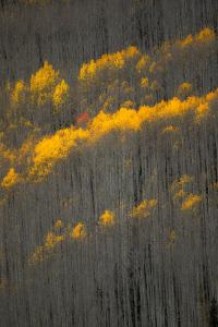 Aspen Trees in Autumn Mostly Stripped of Their Golden Leaves by Robbie George