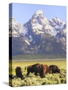 Bison, Bison Bison, Grazing at Base of Grand Teton Mountain by Robbie George