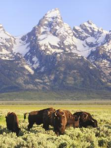 Bison, Bison Bison, Grazing at Base of Grand Teton Mountain by Robbie George