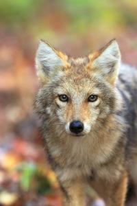 Close Up Portrait of a Coyote Pup, Canis Latrans, in Autumn Leaves by Robbie George