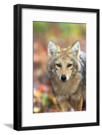Close Up Portrait of a Coyote Pup, Canis Latrans, in Autumn Leaves