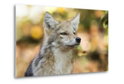 Close Up Portrait of a Coyote Pup, Canis Latrans