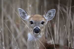 Close Up Portrait of a White-Tailed Deer, Odocoileus Virginianus by Robbie George