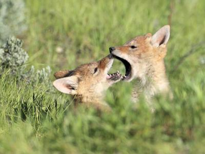 Coyote Pups, Canis Latrans, Being Playful