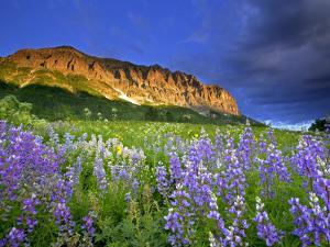 Lupine Wildflowers at the Base of Gothic Mountain by Robbie George