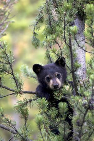 Portrait of a Black Bear Cub, Ursus Americanus, Climbing in a Pine Tree
