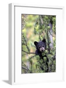 Portrait of a Black Bear Cub, Ursus Americanus, Climbing in a Pine Tree by Robbie George