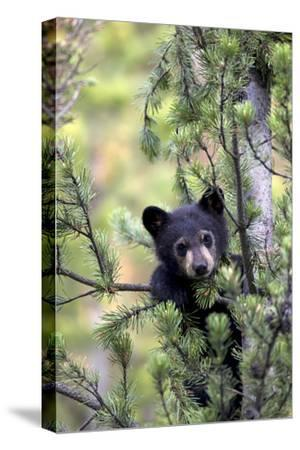 Portrait of a Black Bear Cub, Ursus Americanus, Climbing in a Pine Tree by Robbie George
