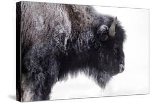 Portrait of a Frost-Covered American Bison, Bison Bison, in Snow by Robbie George