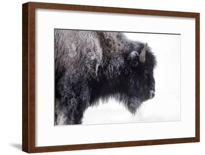 Portrait of a Frost-Covered American Bison, Bison Bison, in Snow