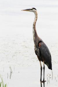 Portrait of a Great Blue Heron, Ardea Herodias, Wading in the Water by Robbie George