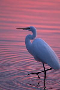 Portrait of a Great Egret, Ardea Alba, Walking the Shore at Sunset by Robbie George