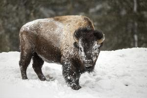 Portrait of a Snow-Dusted American Bison, Bison Bison, after a Refreshing Roll in the Snow by Robbie George