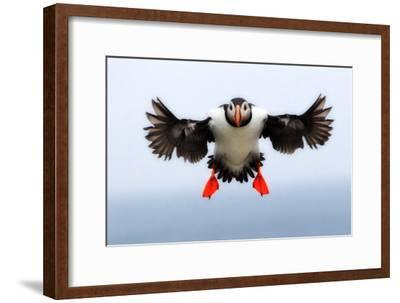 Portrait of an Atlantic Puffin, Fratercula Arctica, in Flight with Wings and Feet Spread