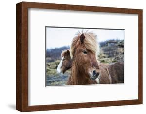 Portrait of an Icelandic pony, Equus caballus. by Robbie George