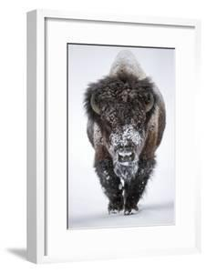 Portrait of an Snow-Dusted American Bison, Bison Bison by Robbie George