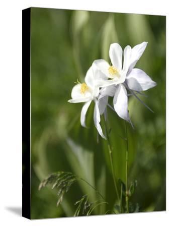 Rocky Mountain Columbine Wildflowers, Aquilegia Coerulea, in a Meadow
