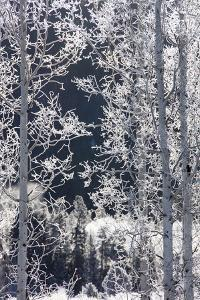 Snow Crystals Coat Twigs and Branches of Birch Trees by Robbie George