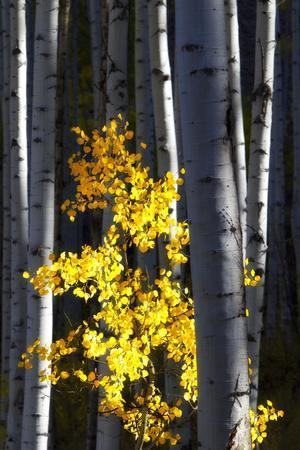 Sunlight on a Small Golden Aspen Tree Among Larger Tree Trunks