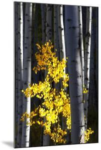 Sunlight on a Small Golden Aspen Tree Among Larger Tree Trunks by Robbie George