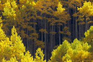 Sunlight on Blazing Yellow Aspen Trees by Robbie George