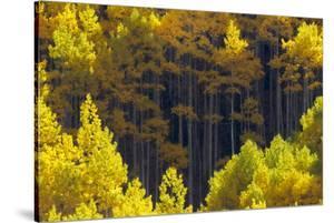 Sunlight on Blazing Yellow Aspen Trees by Robbie George