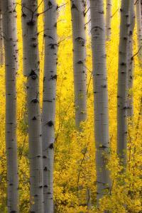 Sunlight on Golden Aspen Tree Branches Among Larger Tree Trunks by Robbie George