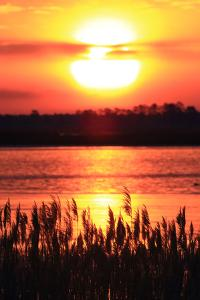 The Sun Rises and Paints the Water, and Silhouettes Invasive Phragmites, Phragmites Australis by Robbie George