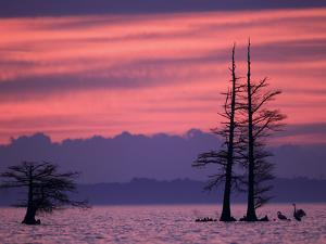 Tundra Swans, Cygnus Columbianus, Wait for the Sunrise on a Lake by Robbie George