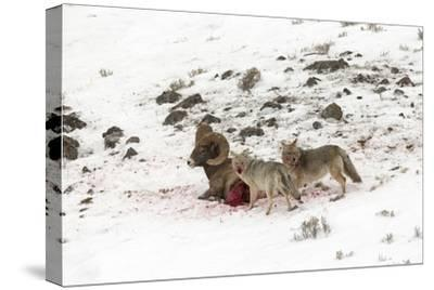 Two Coyotes, Canis Latrans, Feed on a Live Bighorn Sheep, Ovis Canadensis, That They Took Down