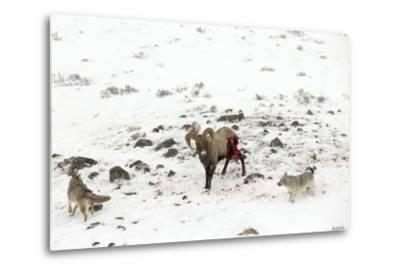 Two Coyotes, Canis Latrans, Work Together to Take Down a Bighorn Sheep, Ovis Canadensis