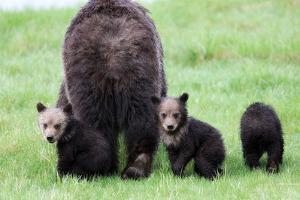 Two Grizzly Cubs, Ursus Arctos, Look Back While their Mother Walks Away by Robbie George