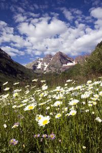 Wild Chamomile Flowers, Matricaria Perforata, in a Sunny Mountain Valley by Robbie George
