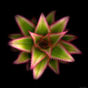 Cactus Star by Robert Cattan