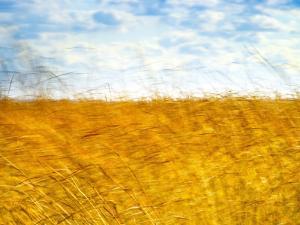 Golden Grass in the Wind by Robert Cattan