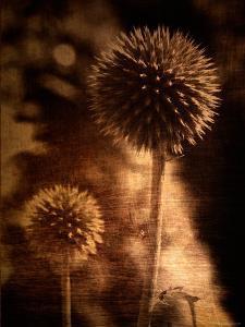 Sepia Dandelions by Robert Cattan